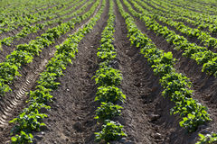 номер поля предпосылки цветя засаживает картошки картошки белые Конец-вверх стоковые фотографии rf