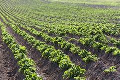 номер поля предпосылки цветя засаживает картошки картошки белые Конец-вверх стоковое изображение