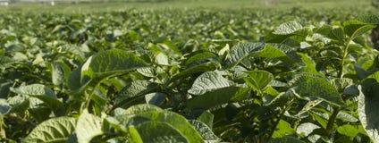 номер поля предпосылки цветя засаживает картошки картошки белые Стоковые Фото