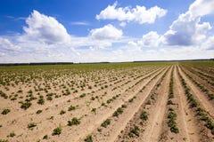 номер поля предпосылки цветя засаживает картошки картошки белые Стоковое Фото