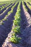 номер поля предпосылки цветя засаживает картошки картошки белые Стоковые Изображения