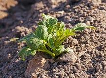 номер поля предпосылки цветя засаживает картошки картошки белые Стоковое Изображение RF