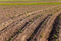 номер поля предпосылки цветя засаживает картошки картошки белые Стоковая Фотография RF