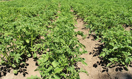 номер поля предпосылки цветя засаживает картошки картошки белые Стоковое фото RF