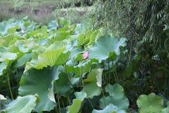 номер поля предпосылки цветя засаживает картошки картошки белые Стоковое Изображение