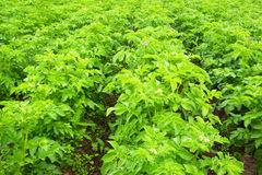 номер поля предпосылки цветя засаживает картошки картошки белые Цветорасположение Буш Стоковое Изображение