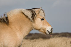 норвежец лошади фьорда Стоковое фото RF