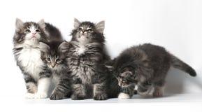 норвежец пущи кота Стоковая Фотография RF