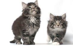 норвежец пущи кота Стоковое Изображение