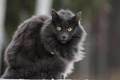 Норвежская женщина кота леса с очень бдительным выражением Стоковые Фотографии RF