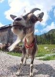 Норвежская коза Стоковая Фотография