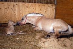 Норвежская лошадь фьорда Стоковое фото RF