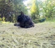 Норвежская чернота кота леса Стоковое фото RF