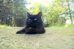 Норвежская чернота кота леса Стоковая Фотография RF