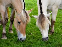 Норвежские лошади фьорда стоковые фото