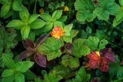 Норвежские морошки Съестная ягода Стоковая Фотография