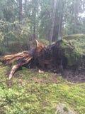норвежские древесины стоковые изображения