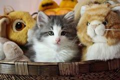 Норвежский котенок женщины кота леса Стоковое Изображение