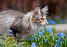 Норвежский котенок кота леса в солнечном саде Стоковые Изображения RF