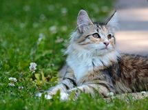 Норвежский котенок кота леса в солнечном саде Стоковое Изображение
