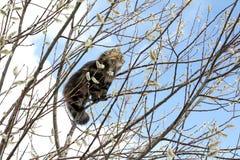Норвежский кот леса Стоковая Фотография RF