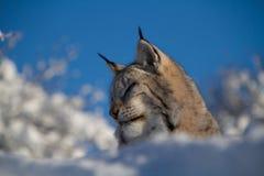 Норвежский рысь в снеге Стоковая Фотография RF