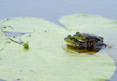 норка лягушек amplexus стоковая фотография rf