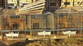 Норка обрабатывая землю, охрана животных, серая норка в клетке металла сток-видео