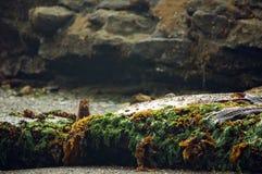 Норка пряча за засорителем моря покрыла утесы Стоковые Изображения RF