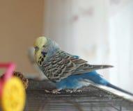 Нормальный кобальта волнистого попугайчика сметанообразный идет на крышу клетки стоя в комнате Стоковая Фотография RF