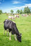 Нормандские черно-белые коровы пася на травянистом зеленом поле с деревьями на яркий солнечный день в Нормандии, Франции Стоковые Фотографии RF