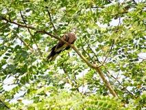 Носитесь голубь в ветви стоковое изображение