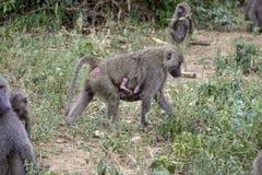 Носить павиана матери newborn Стоковая Фотография