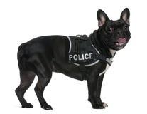 носить полиций проводки бульдога французский Стоковое Изображение