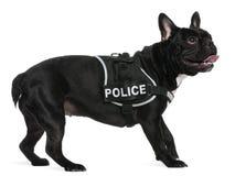 носить полиций проводки бульдога французский Стоковые Фото