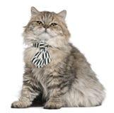 носить связи усаживания великобританского котенка longhair стоковые фотографии rf