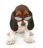 носить солнечных очков щенка гончей basset Стоковые Фотографии RF