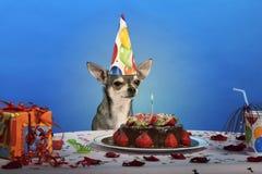 носить таблицы шлема чихуахуа дня рождения Стоковые Изображения