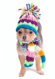 носить шарфа щенка шлема чихуахуа Стоковое фото RF