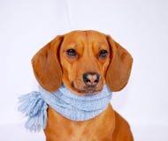 носить шарфа dachshund Стоковое фото RF