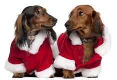 носить santa обмундирований dachshunds Стоковые Фотографии RF