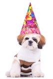 носить tzu shih щенка партии шлема Стоковая Фотография RF