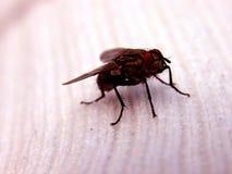 носок мухы Стоковое Изображение
