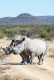 2 носорога преграждая дорогу на сафари Стоковая Фотография RF