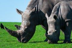 Носороги, мама и ее икра наслаждаясь травой стоковые изображения rf