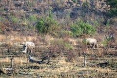 Носороги пася в национальном парке Pilanesberg Стоковые Изображения RF