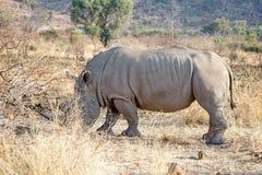 Носороги пася в национальном парке Pilanesberg Стоковые Изображения