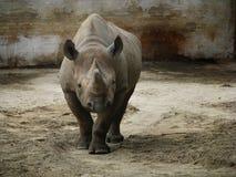 Носорог без рожка Стоковое Фото