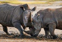 Носорог 2 воюя друг с другом Кения Национальный парк вышесказанного стоковые фотографии rf