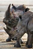 Носорог 2 воюя друг с другом Кения Национальный парк вышесказанного стоковое фото